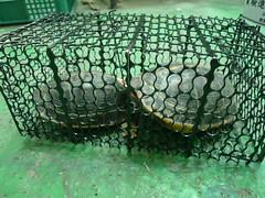 曾為吳老師標記野放之柴棺龜。(圖片來源:林務局提供)