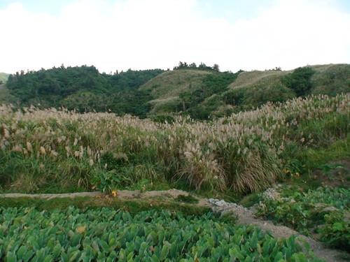 山林五節芒草原到水芋田。(圖片攝影:鄭漢文)