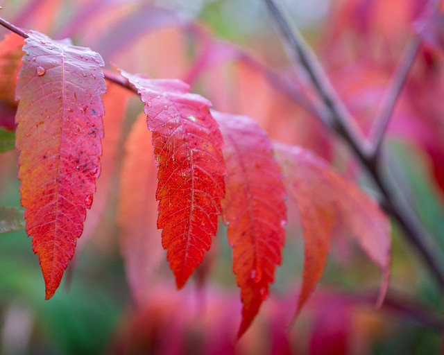 Autumn, Leaves, Red, Sumac, Branch, Fall, Colors