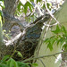 Small photo of Northern Goshawk on Nest. Accipiter gentilis