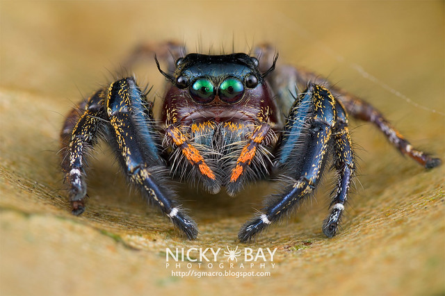 Jumping Spider (Hyllus sp.) - DSC_9090