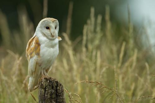AW9H5239 - Beautiful Barn Owl (Tyto alba) [Explored 14/11/13]
