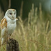 AW9H5239 - Beautiful Barn Owl (Tyto alba) [Explored 14/11/13] by asbimages.co.uk