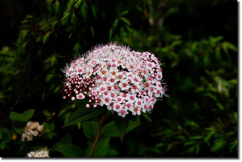 台灣繡線菊