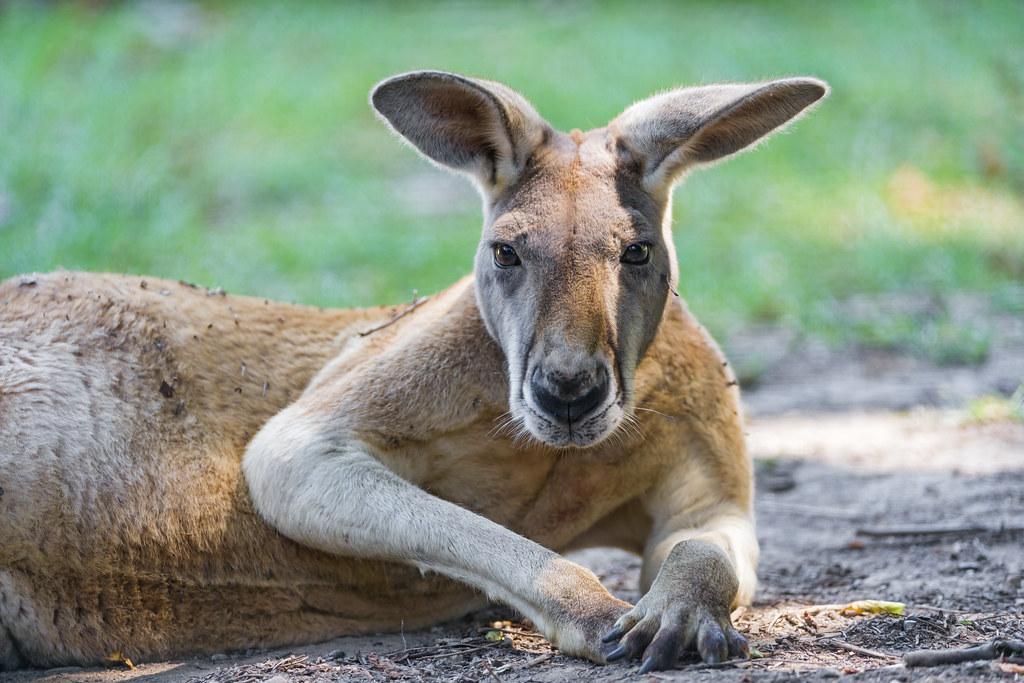 Funny posing male kangaroo