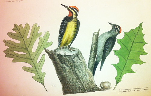 Woodpecker illustration from Catesby