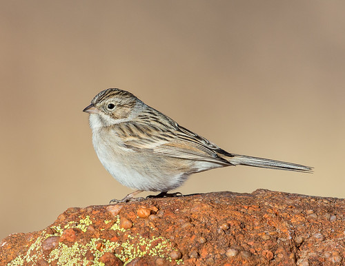 wild arizona bird nature birds rock unitedstates bisbee brewerssparrow
