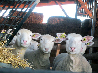 Auf dem Schafbauernhof