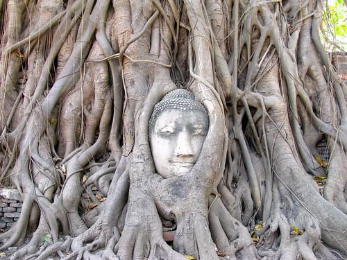 Rostro de Buda entre las raíces