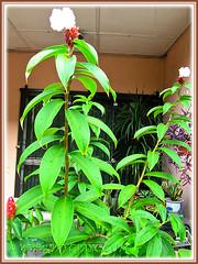 Free-flowering Cheilocostus speciosus (Crepe/Spiral Ginger) in our garden, March 20 2014