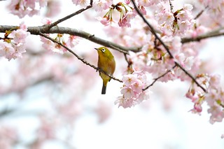 Cherry blossoms with Japanese White-eye