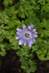 ANEMONE apennina double-flowered