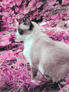#cat #catlover #instacat #instagatos #gato #instagatoss #instagatoschile #gatos #catstagram #cats #pet #meow #kitten #instapet #ilovemycat #instacats #cute #catsofinstagram #catoftheday #thedailykitten #igers #fluffy #simba #mainecoonlovers #mainecooncat