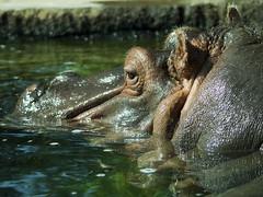 Memphis Zoo 08-31-2016 - Hippopotamus 1