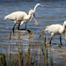 Spoonbills & Little Egrets (Jim Higham)