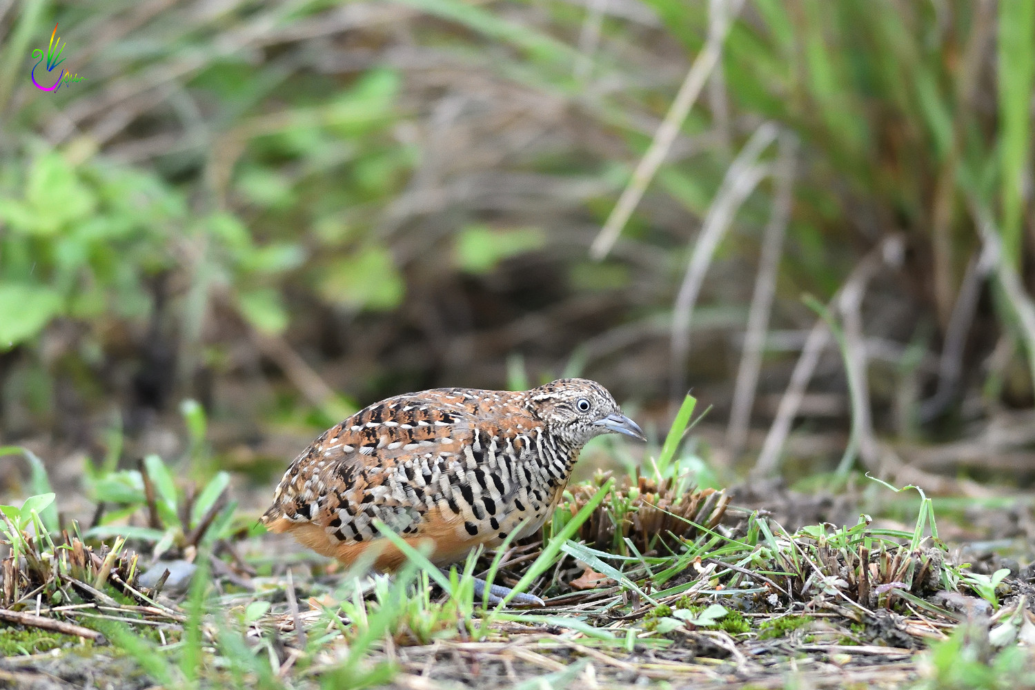 Barred_Buttonquail_1826