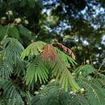 Albizia chinensis leaves