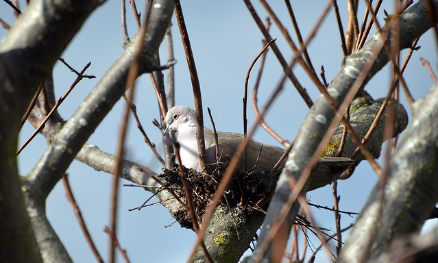 Collared Dove (3)