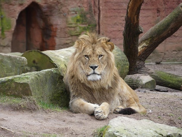 Löwe Zoo Hannover