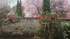 Hurrah for spring flowers!  #cherryblossomseason #camillias #backyardwonders #enjoyingtheview #pnw #coloriffic #artistangie