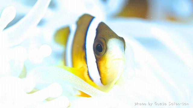 クマノミ幼魚ちゃん♪