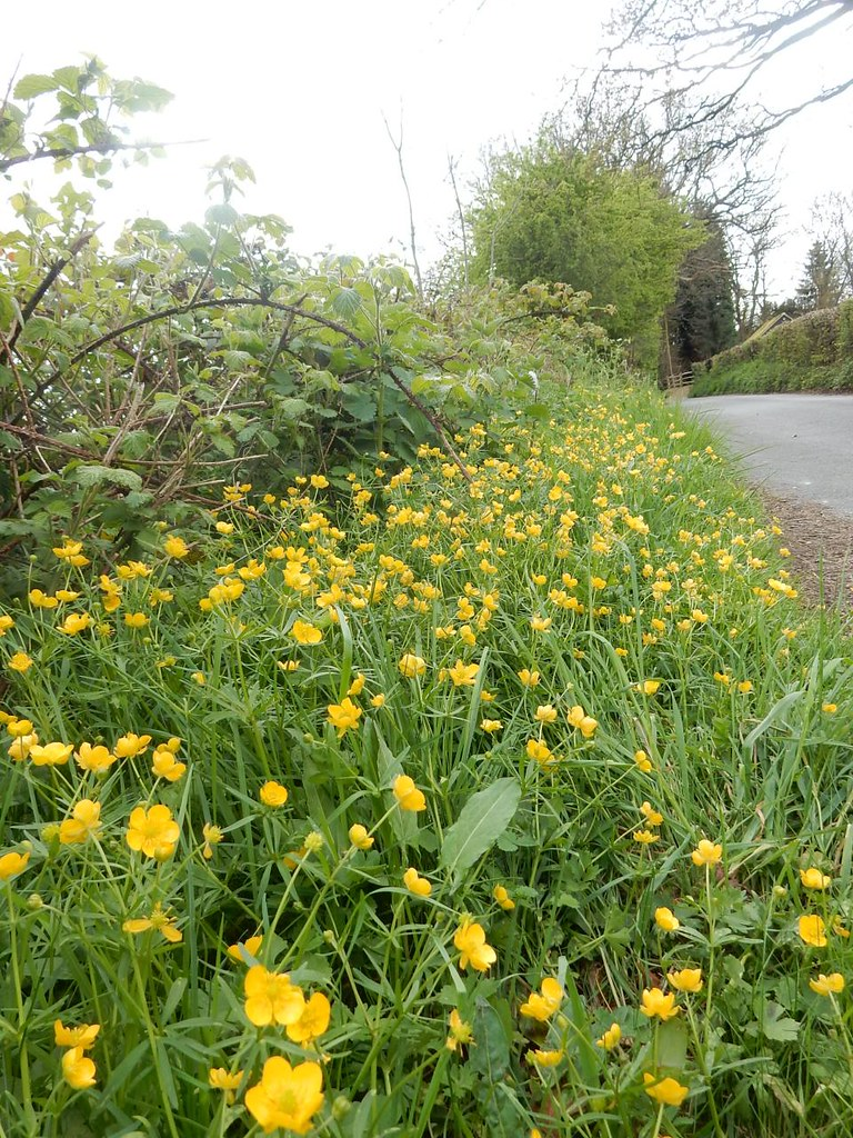 Buttercups Whyteleafe to Woldingham