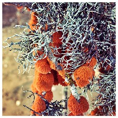 The most amazing orange lichen along the Morro Bay coast growing on the cypress.