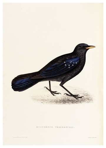 010-Myophonus Temmenckii-A Century of Birds from the Himalaya Mountains-John Gould y Wm. Hart-1875-1888-Science Naturalis