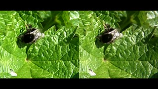 Bumble bee on leaf - 3d movie clip - crossview