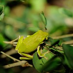 葉片上的諸羅樹蛙。(攝影:吳仁邦)