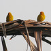 Small photo of Sicalis flaveola, a pair of Saffron Finch