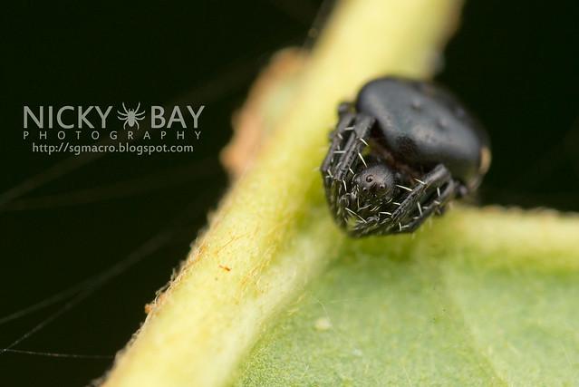 Orb WebSpider (Araneidae) - DSC_6423
