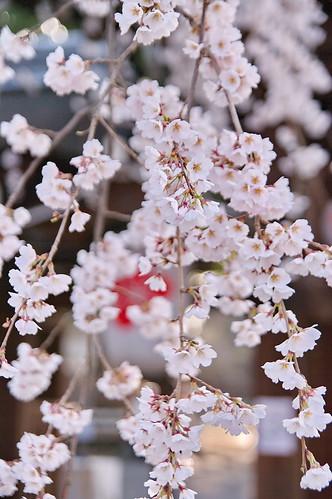 【写真】2013 桜 : 平野神社/2021-01-09/IMGP8712