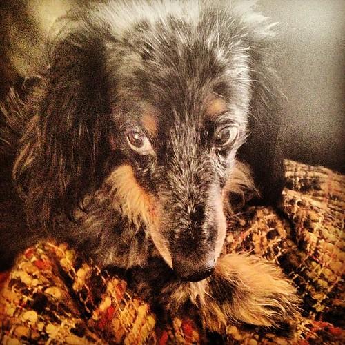 #latergram pretty Maya the #dachshund. #dogs #dogstagram #dogsofinstagram #doxie