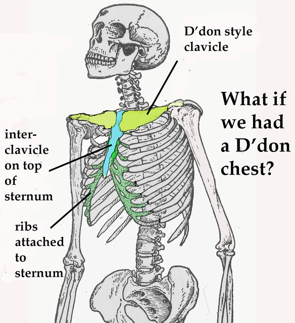 human interclavicle