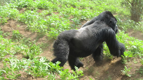 They don't call them silverbacks for nothing!