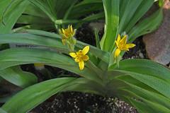 Hypoxidaceae