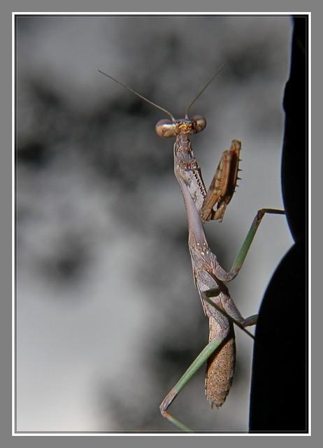 小螳螂_图1-9