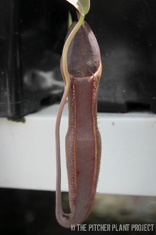 Nepenthes izumiae x ramispina