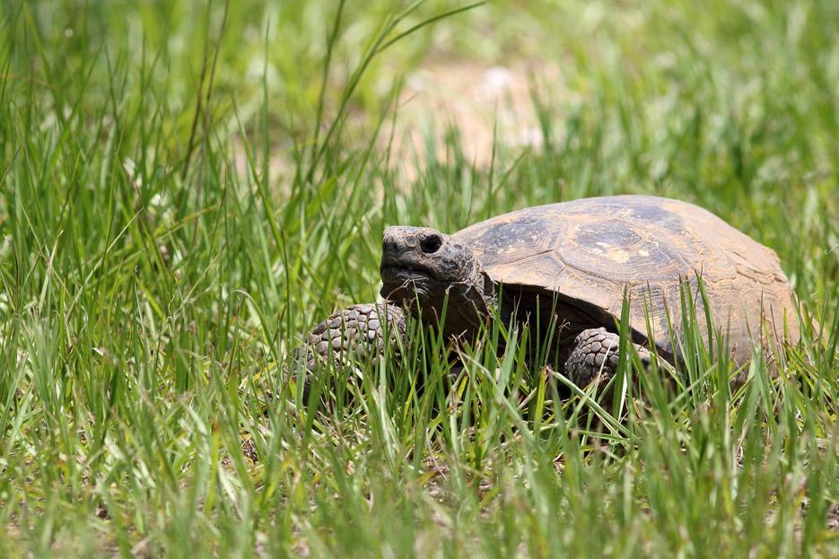 073113_02_reptile_tortoise01