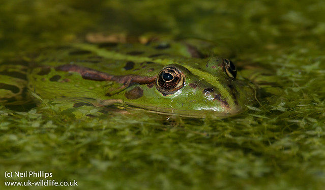 marsh frog-17