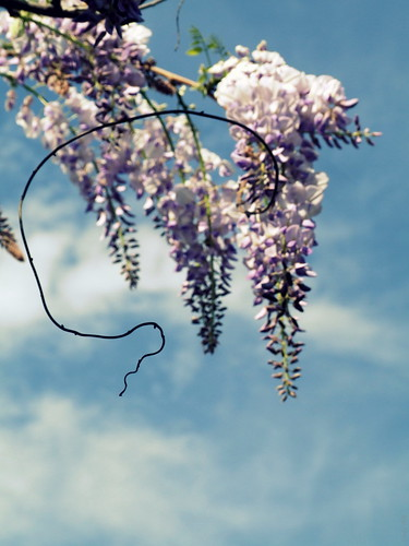 Wisteria - from the memory