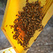 Swarming on the Open Combs ~ Harvesting the Hives