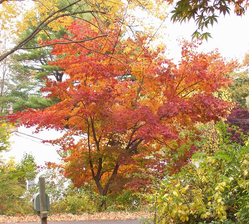 japanese maple red and orange