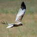 Western Marsh-Harrier - Photo (c) Sergey Pisarevskiy, some rights reserved (CC BY-NC-SA)