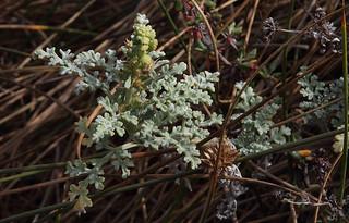 Silver Beach Bur - Ambrosia chamissonis