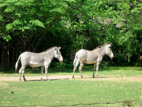 Zebras by Coyoty