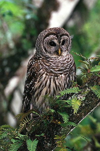 Wildlife in British Columbia, Canada: Barred Owl
