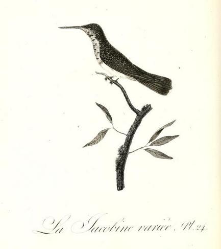 Oiseaux dorés pl 24