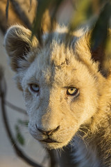 Portrait of a white lion cub in the sunset light